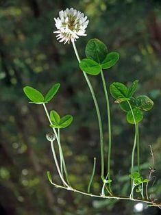Valkoapila, Trifolium repens - Kukkakasvit - LuontoPortti