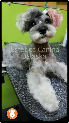 Love the short beard Schnauzer Cut, Schnauzer Grooming, Pet Grooming, Miniature Schnauzer Black, Schnoodle Dog, Dog Grooming Styles, Creative Grooming, Puppy Cut, Short Beard