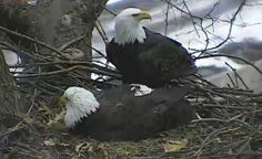 Bald eagle lays egg in Pittsburgh nest eagl lay, anim, eggs, pittsburgh, news, lay egg, nests, bald eagles