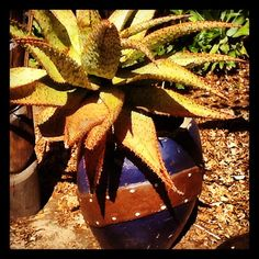 Because aloes are good for you .. BTW: nice pot