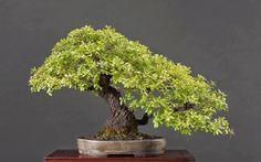 147 Best oak bonsai images in 2019 | Bonsai trees, Dwarf