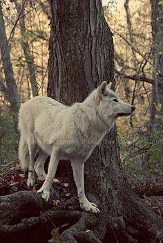 white wolf  #whitewolf#white#wolf