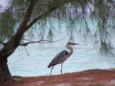 A grey heron taking a stroll along the beach on Picard Island, Aldabra Atoll, Seychelles. Grey Heron, Seychelles, Natural History, Geography, Wildlife, Ocean, Island, Beach, Nature