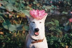 "lifeonpaws: ""Lotus dog is at one """