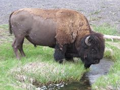 Bison Drinking/ Back hair could be made w/ a sheet of textured clay(nts) North American Animals, American Bison, Large Animals, Animals And Pets, Bison Tattoo, Buffalo Pictures, Amor Animal, Curious Creatures, Water Buffalo