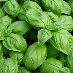 Large Leaf Italian Sweet Basil