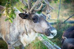 Цель: Сохранить северных домашних  оленей и традиционный вид деятельности…