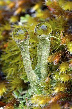 Pixie-Cup Lichen (Cladonia Fimbriata) ~ love it