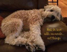 Fall in love with moments. . . not things..... love soft-coated wheaten terriers!