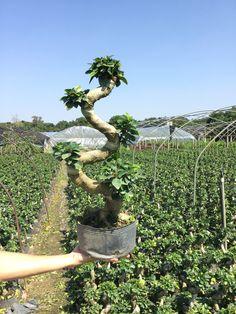 S type ficus ginseng Ficus Ginseng Bonsai, Ficus Microcarpa, Type, Garden, Plants, Garten, Lawn And Garden, Gardens, Plant