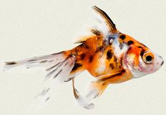 Calico Fantail Fancy Goldfish | Tropicali