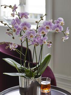 Phalaenopsis er den mest populære orkideen vi selger.