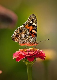 Butterfly on zinnia - Painted Lady by Sylvia J Zarco