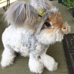 Meet Wally, The Fuzzy Angora Rabbit With The Biggest Wing-Like ...