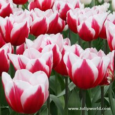 Leen van der Mark Triumph Tulips boast vibrant red and white blooms. These beauties bloom mid-spring and for the biggest impact, plant with other red and white tulips. Also, try planting with White Muscari for a contrast in height. Triumphs are the traditional tulip shape that stands up to bad weather and best choice for forcing!  Leen van der Mark Triumph Tulip 20 bulbs will begin to flower sometime in Mid Spring.