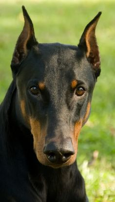 looks just like our new dobie Animals And Pets, Cute Animals, Doberman Love, Dog Best Friend, Dogs And Puppies, Doggies, Doberman Pinscher, Beautiful Dogs, Rottweiler