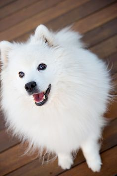 Take home a new best friend. Just adopted Beezie from being recued out of Korean meat market - well trained, must have been someone's baby and ran or was taken and sold to the market. Samoyed Dogs, Pet Dogs, Dog Cat, Doggies, American Eskimo Puppy, Miniature American Eskimo, Beautiful Dogs, Animals Beautiful, Happy Animals
