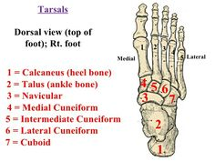 Tarsal bone