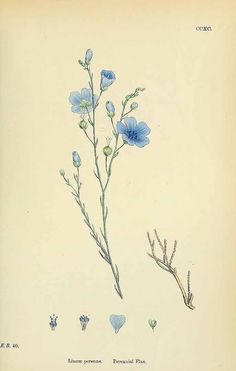 154130 Linum perenne L. / English Botany, or Coloured Figures of British Plants, ed. 3 [B] [J.E. Sowerby et al], vol. 2: t. 290 (1864)