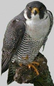 Pererine (falco peregrinus) - Cheddar Gorge - August 2010