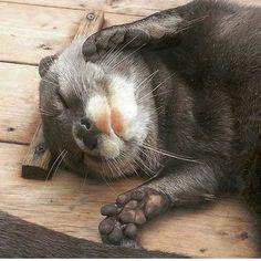 35 Adorable and Cute Sleeping Animals Otters Cute, Baby Otters, Cute Baby Animals, Animals And Pets, Funny Animals, Otter Pup, Arte Do Kawaii, Sleeping Animals, Sleeping Otters