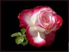 "Magnifique et majestueuse ""Rose""...."