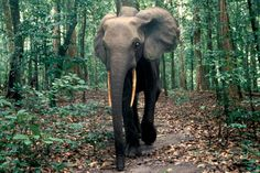 Tropical Rainforest Animals in Africa | Elephants: the gardeners of Asia's and Africa's forests