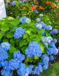 Hydrangeas on Nantucket | The Season's Best Blooms - Shorelines Illustrated Hydrangea Colors, Hydrangeas, New England Travel, Out To Sea, Nantucket, Bloom, Seasons, Island, Rose