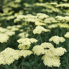 Achillea Moondust Discover the beautiful perennials and graceful grasses grown by Santa Rosa Gardens. Plants and garden accessories available for mail-order throughout the United States. Herbaceous Border, Plants, Garden Shrubs, Achillea, Yarrow, Sun Garden, Drought Tolerant Perennials, Perennials, Shrubs