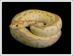 'Banana Clown' ball python. I want them to do a Banana Caramel, so they can call it a 'Banoffee'.