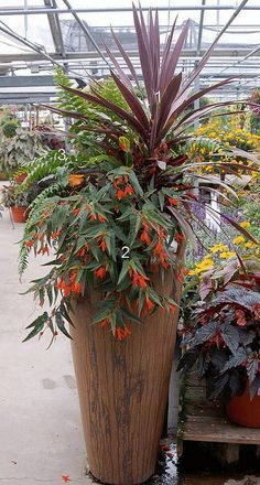 """container garden tesselaarusa Bonfire begonias in container garden by Barbara Peake Wise Cordyline as """"thriller"""", Bonfire begonia as """"spiller"""" and Boston fern as """"filler. Container Flowers, Container Plants, Container Gardening, Outdoor Planters, Garden Planters, Outdoor Gardens, Pot Jardin, Garden Projects, Garden Inspiration"""
