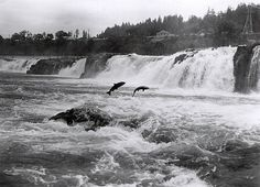 Pacific salmon leaping at Willamette Falls, Oregon Pacific Coast, Pacific Ocean, Pacific Northwest, Oregon City, State Of Oregon, Oregon Coast, Portland Oregon, Pacific Salmon, Atlantic Salmon