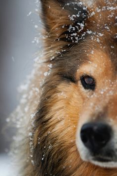~ SHELTIES ENJOY COLD WEATHER, AFTER ALL THEY ARE ORIGINALLY FROM THE SHETLAND ISLANDS IN SCOTLAND (COLD THERE) ~