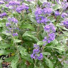 Caryopteris x clandonensis Grand Bleu® 'Inoveris' 1