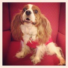 "@citydogphotography's photo: ""Here's to a lazy Sunday "" #cavalier #dog #cute #cavalierkingcharles"
