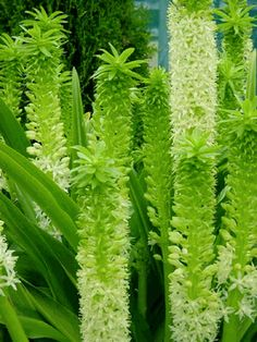Eucomis Tugela Jade (Pineapple Lily) Bulb, Give your garden a tropical look this year,Great in beds, borders and containers. Freesia Flowers, Rare Flowers, Exotic Flowers, Beautiful Flowers, Giant Flowers, Unique Flowers, White Flowers, Tropical Garden, Tropical Plants