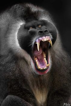 This is the Drill primate - title Spanish NO ESTOY ENFADADO to English I'm not angry! - by Mako Fotografia on 500px