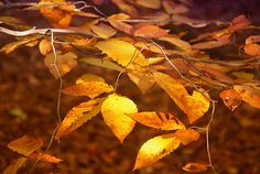 Golden Leaves Photograph  - Golden Leaves Fine Art Print $14 for an Art Print #leaves #shopping #autumn #branches #photography