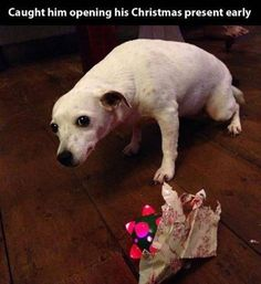 Funny Animal Pictures Of The Day - 21 images. Guilty dog gets caught opening his Christmas present early and is not sorry! Enjoy RUSHWORLD boards, CUTE AND FUNNY CHRISTMAS CATS AND DOGS, CHRISTMAS TREE BIZARRE and UNPREDICTABLE WOMEN HAUTE COUTURE. Follow RUSHWORLD! We're on the hunt for everything you'll love! #dogsfunnyshaming #christmaspictures #funnydogpictures
