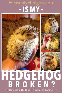 Your domesticated hedgehog is losing quills, so let us help decide if this is hedgehog quilling symptoms or not. Come Learn Some Quilling Tips & Tricks Now Hedgehog Day, Happy Hedgehog, Cute Hedgehog, Hedgehog Treats, Cheap Pet Insurance, Pocket Pet, Pets For Sale, Pet Treats, Funny Animal Humor
