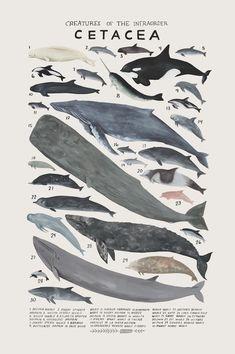 Creatures of the infraorder Cetacea