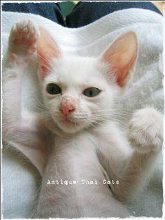 タイ猫 カオマニー Khaomanee แมวไทย ขาวมณี 子猫 kitten Antique Thai Cats アンティークタイキャット