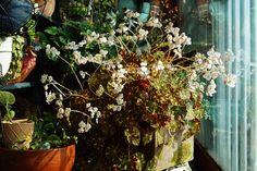 begonia tiger flower
