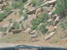 female and young Rocky Mountain Big Horned Sheep next to the road on the way to Cripple Creek.