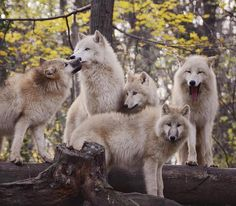 Appreciate the amazing beauty of wolves Most people are familiar with the concept of an Alpha male, as it pertains to wolf packs, but lar. Arktischer Wolf, Wolf Pup, Wolf Love, Beautiful Wolves, Animals Beautiful, Beautiful Creatures, Cute Animals, Wolves In Love, Beautiful Family