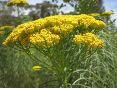 Hymenolepis parviflora is one of our favorites. Such a rewarding plant, with it's pretty needle-like foliage and yellow flowers. It fast growing and loves being pruned back hard to make it bushier for the next year. Fast Growing, Yellow Flowers, Green Leaves, Shrubs, Green And Grey, Landscape, Garden, Pretty, Plants