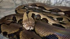 """VADODARA: Two pythons were rescued from a private firm in Itola village on the outskirts of the city on Wednesday. The locals found pythons in the farms late on Tuesday night. The locals straight away informed the officials of forest department. The officials came at the spot and and took them to their nursery in … Continue reading """"Two Pythons Rescued in Vadodara"""""""