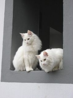 The Maine Coon Cat's cousins: Norwegian Forest Cats Turkish Angora Cat, Angora Cats, I Love Cats, Crazy Cats, Cool Cats, White Kittens, Cats And Kittens, Black Cats, Pretty Cats