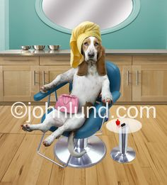 Funny picture of a Basset Hound seated in a beauty parlor chair with painted nails and a towel wrapped around her head.