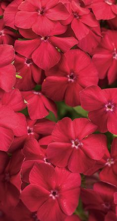 If you have never gardened with an annual phlox before then watch out. This is an amazing plant that offers large bright-red flowers that are mildew heat and drought tolerant. This plant will bloom all summer long and is loved by butterflies too.